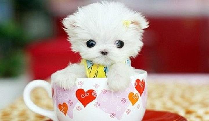 29 Tiny Baby Animals - Super sweet white teacup Yorkie.