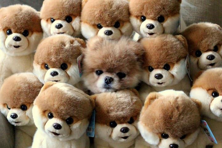 29 Tiny Baby Animals - Can you spot the real Boo the Pomerian?