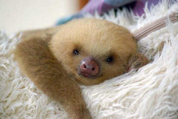 29 Tiny Baby Animals - Sweet baby sloth.