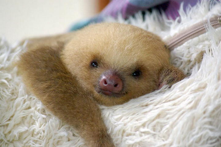 29 Tiny Baby Animals - Sweet baby sloth.