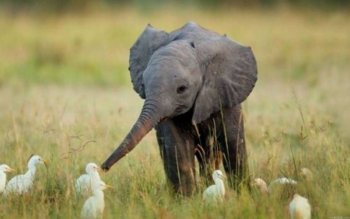 29 Tiny Baby Animals - Adorable baby elephant playing with birds.