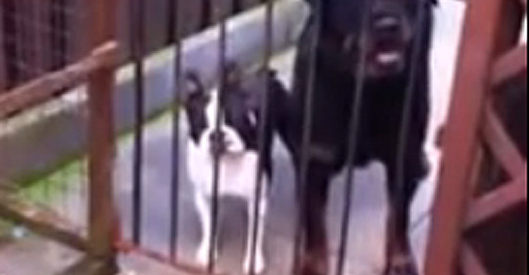 Boston Terrier Dog says hello Back after His Owner Says Hello.