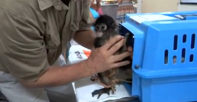 Cute Newborn Spider Monkey Izzie Is Saved from Poachers.