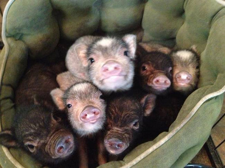 22 mini pigs - One mini pig is cute but in a bunch, they're even cuter.