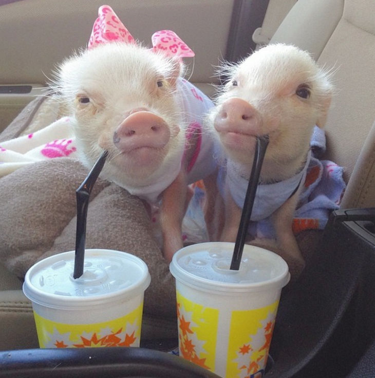 22 mini pigs - They love road trips.