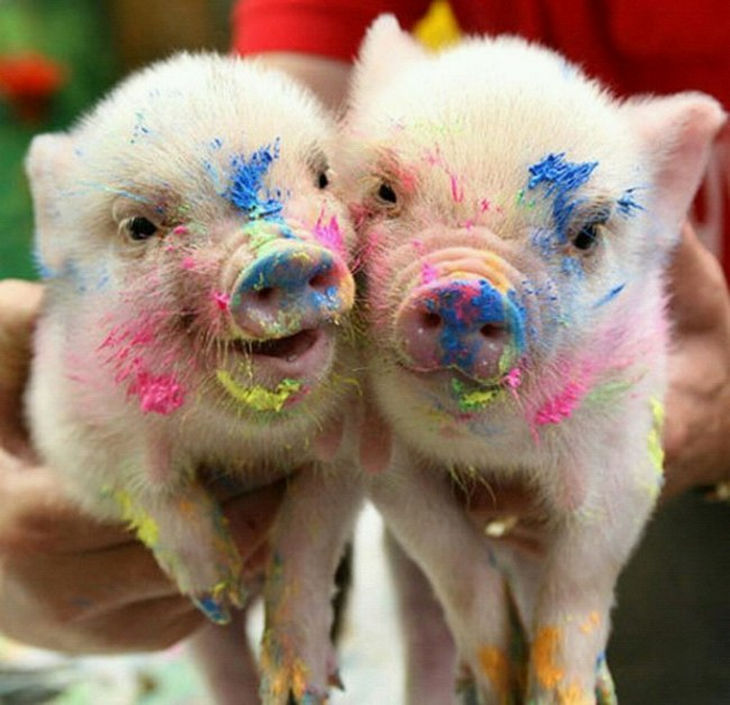22 mini pigs - They're quite artistic.
