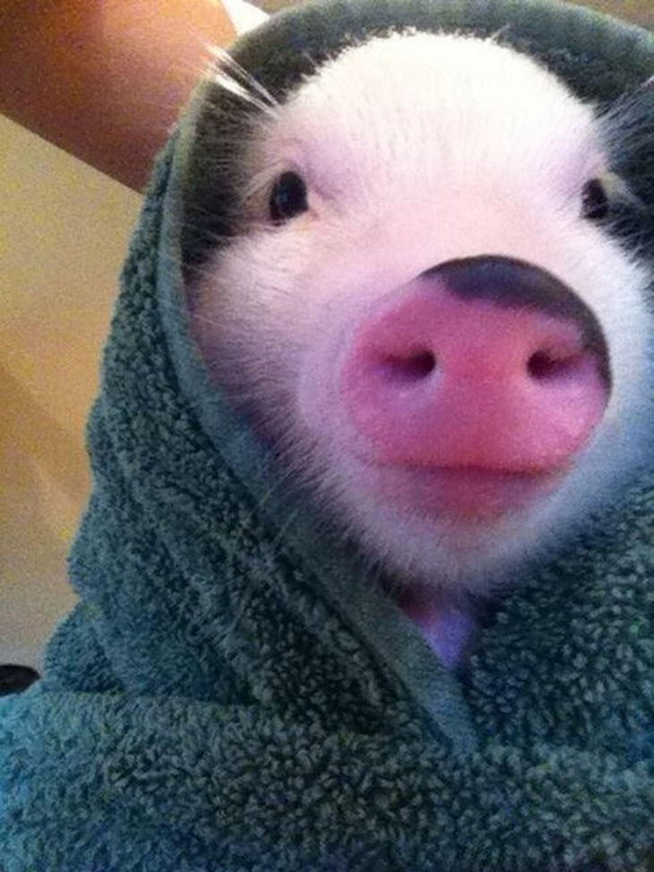 22 mini pigs - 'Pigs in a blanket' takes on a whole new meaning of cuteness.