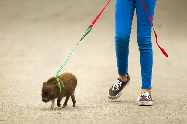 22 mini pigs - They like to go for walks and sure to attract a lot of smiles from other people on the street.