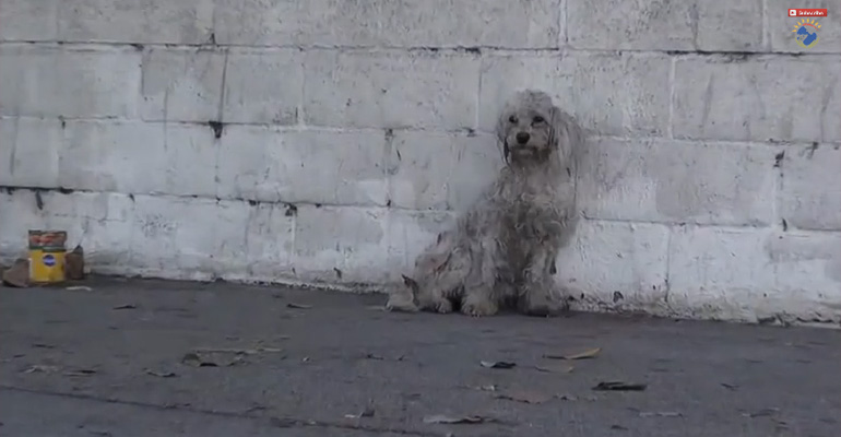 Homeless and Injured Poodle Gets a Heartwarming Rescue.
