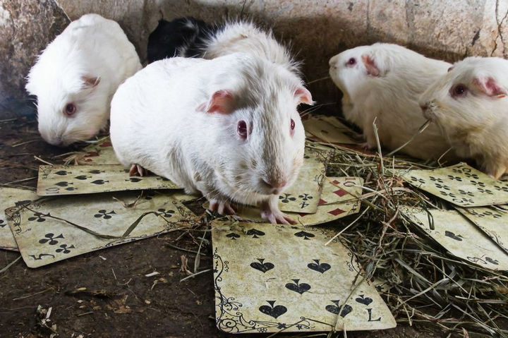 When all the cards are on the table, the guinea pigs will play.