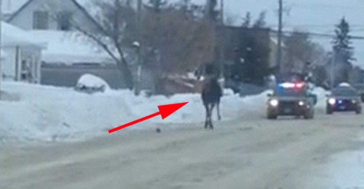 The police had to escort this moose in Timmins, Ontario out of the city safely.