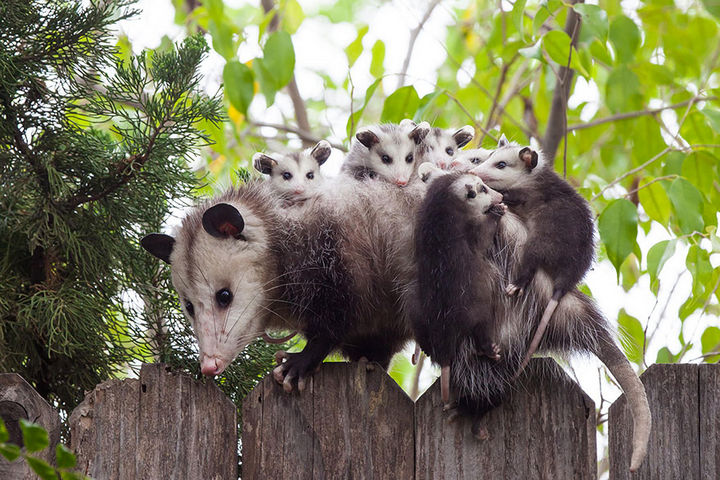 21 Animals and Their Young - Opossum mother and her young.