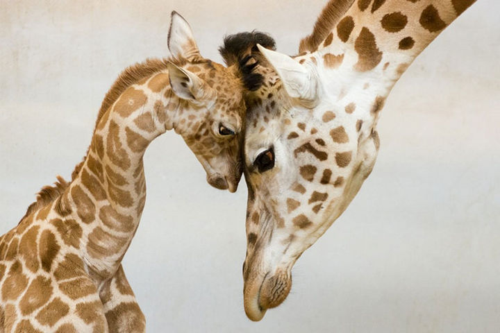 21 Animals and Their Young - Mother giraffe having a moment with her calf.