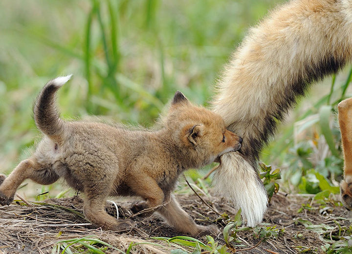 21 Animals and Their Young - A tiny fox playing with his dad.