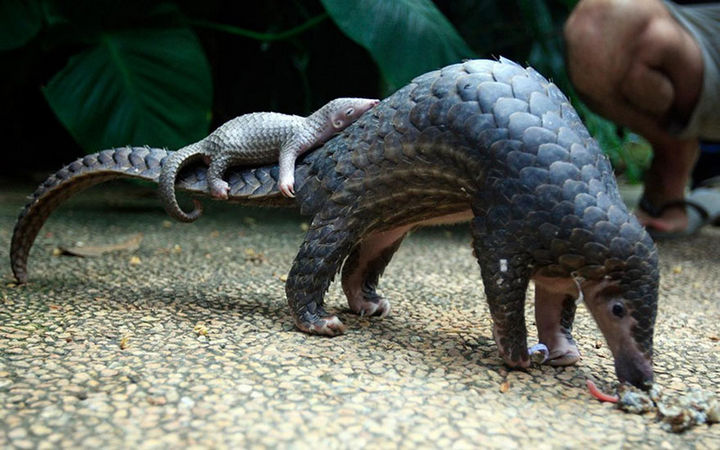 21 Animals and Their Young - A baby pangolin taking a rest on his mommy.