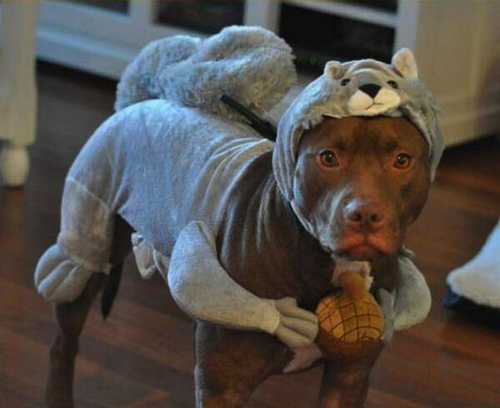Reasons You Shouldn't Own a Pit Bull - They're always going to look better in a Halloween costume than you.