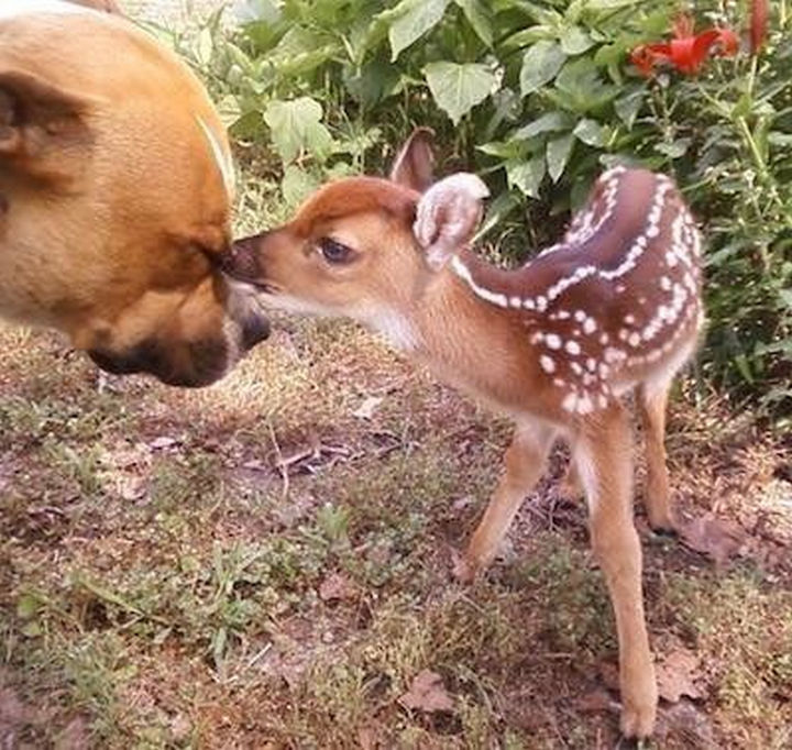 Reasons You Shouldn't Own a Pit Bull - Even deer are afraid of them.