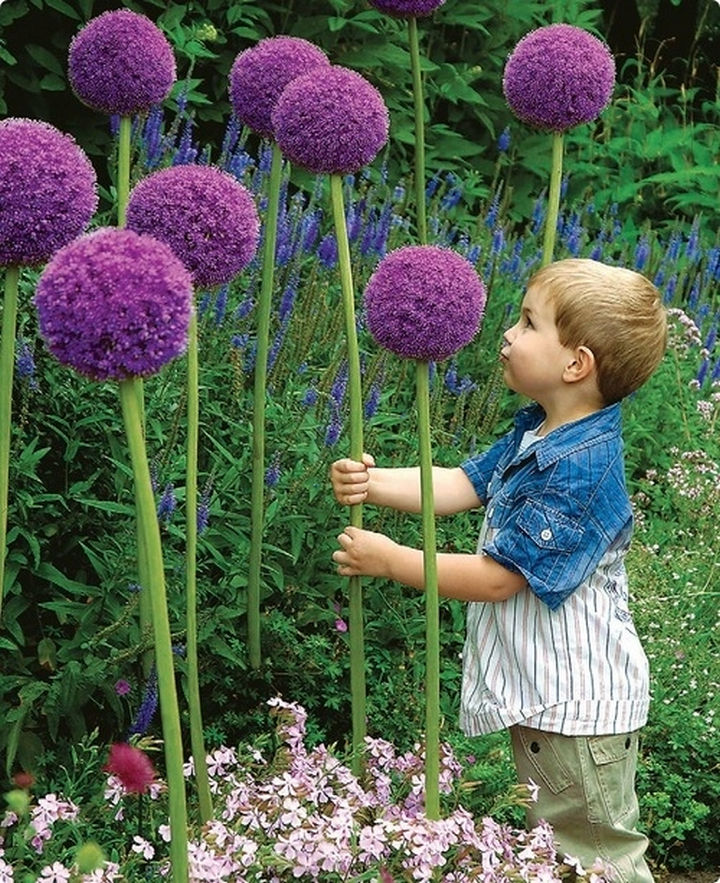 34 DIY Backyard Ideas for the Summer - Plant these perennial favorites, Allium flowers, and watch kids marvel at their splendor.