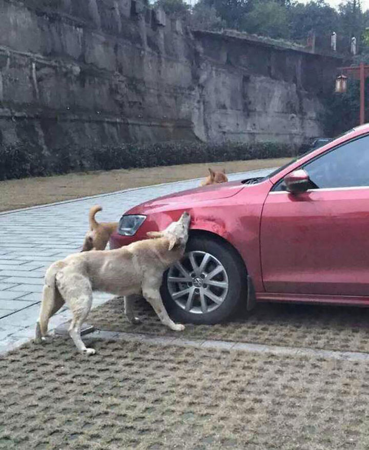 Dog Kicked by Driver Returns Later and Trashes His Car 02
