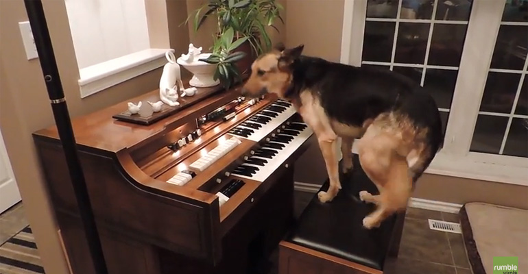 German Shepherd Playing the Piano Impresses Everyone!