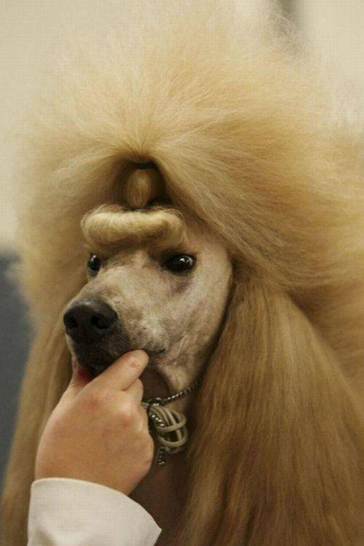 23 Funny Dog Haircuts - The fine art of backcombing.