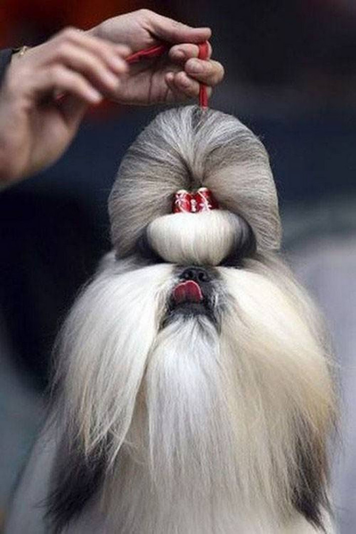 23 Funny Dog Haircuts - SOMEBODY doesn't look happy or is it just me?