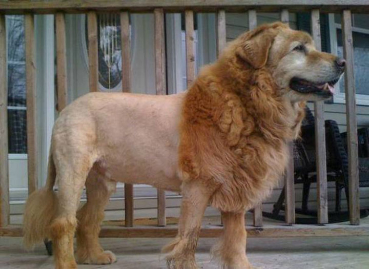 23 Funny Dog Haircuts - Trying to go after the 'King of the Jungle' look...