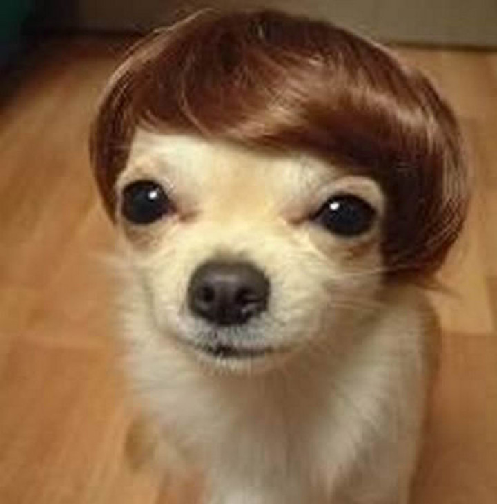 23 Funny Dog Haircuts - He must be a Justin Bieber fan with the younger Bieber bangs hairstyle.