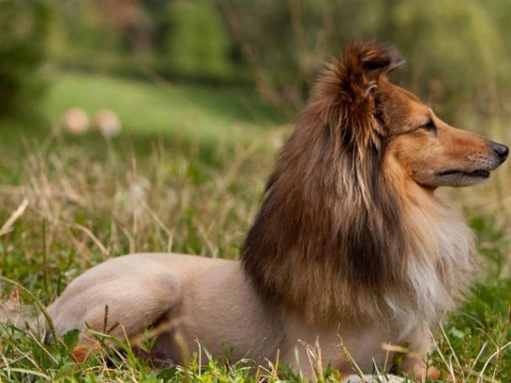 23 Funny Dog Haircuts - Trying to go after the 'King of the Jungle' look again...