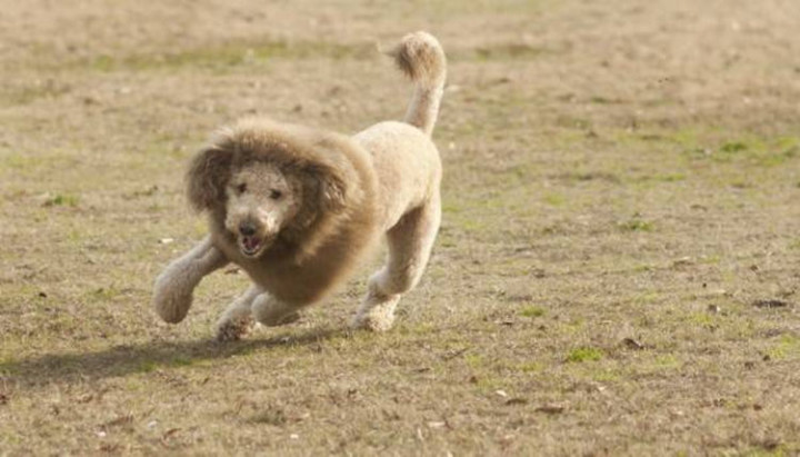 23 Funny Dog Haircuts - Trying to go after the 'King of the Jungle' look...getting there.