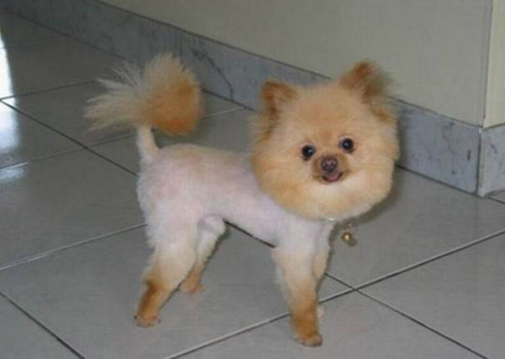 23 Funny Dog Haircuts - Looks like the dog groomer got acarried away when giving this dog a trim!