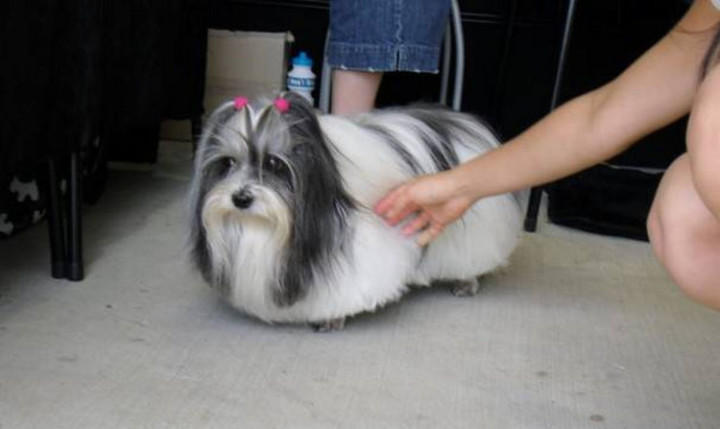 23 Funny Dog Haircuts - A nice illusion of a dog floating on air.