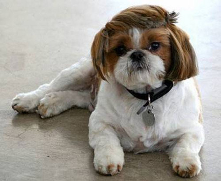 23 Funny Dog Haircuts - Some dogs try to pull the comb over look too but it still doesn't work.