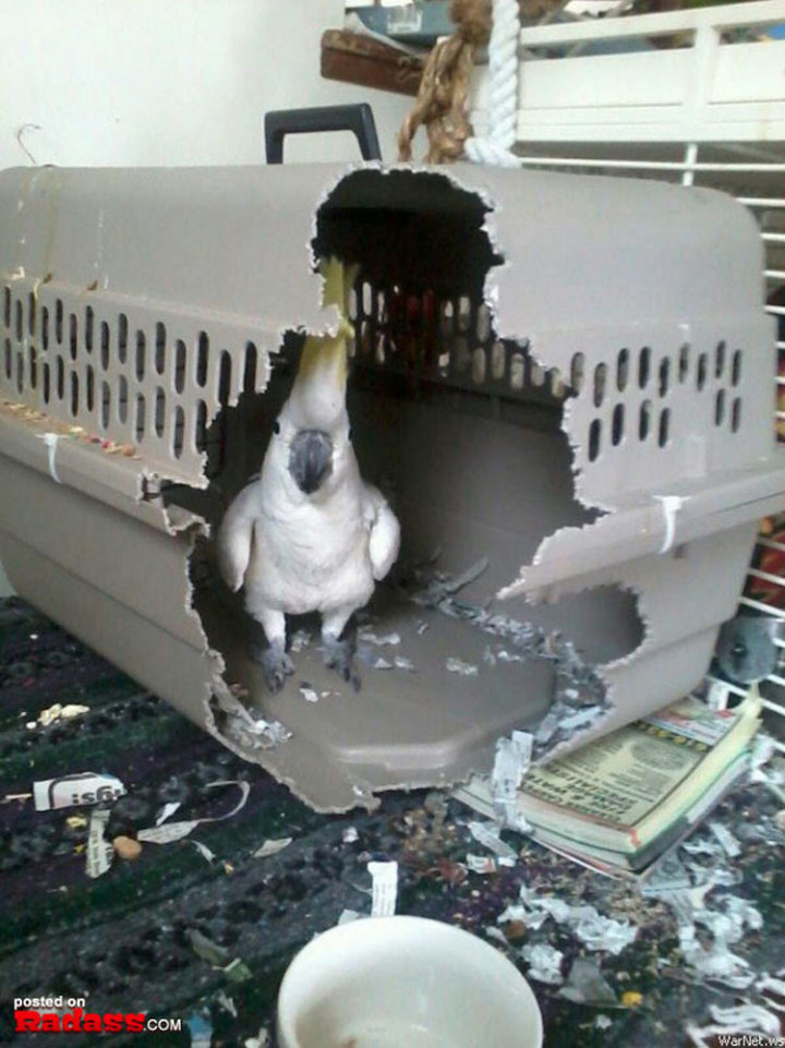 75 Incredibly Funny Pictures That Will Make You Smile - No pet crate is big enough for this bird.