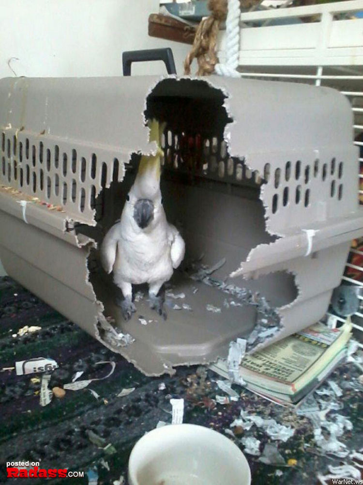 44 Incredibly Funny Pictures That Will Make You Smile - No pet crate is big enough for this bird.