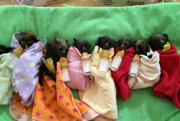 These adorable baby bats were found without a mother to care for them.