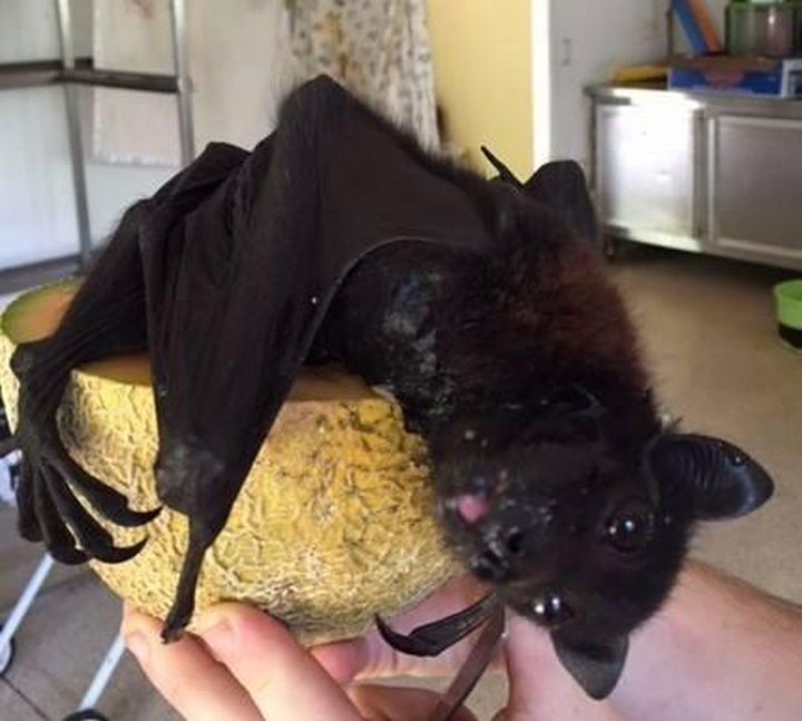 These bats love eating melons, mangos, and other fruits in Australia.