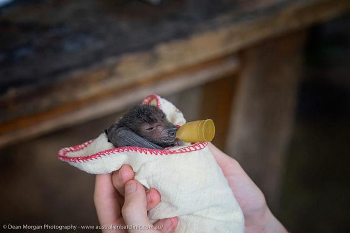 The clinic relies on donations and without their help, the majority of these bats wouldn't be able to support themselves in the wild.