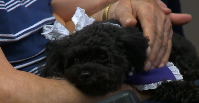 Teacup Poodle Nala Showers Nursing Home Patients With Love.