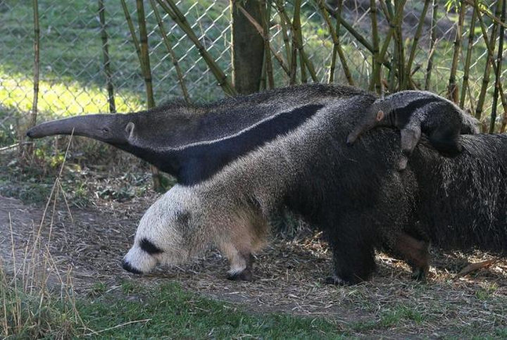 25 Things That Can't Be Unseen - The front legs of an anteater looks like a panda.