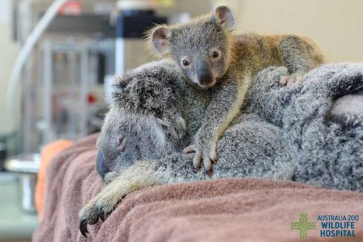 Facebook / Australia Zoo Wildlife Hospital