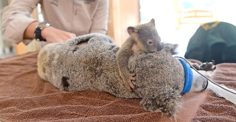Adorable Baby Koala Hugs His Mom During Her Surgery.