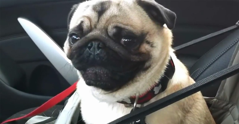 Pug Goes Crazy When He's Told He Is Going to Petsmart.