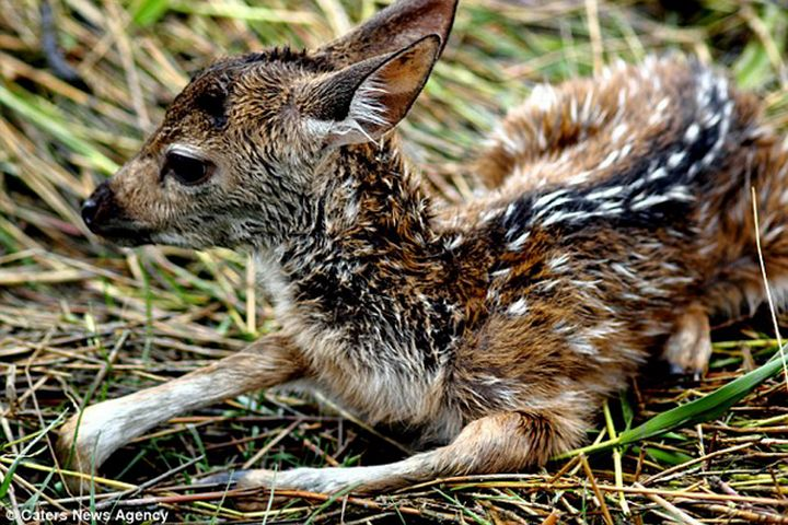This is one ordeal this deer fawn will never forget!