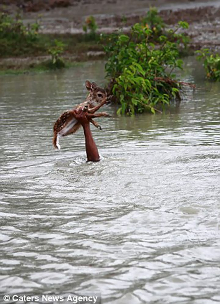 Onlookers lost sight of him many times as he was completely submerged but he kept the fawn above water.