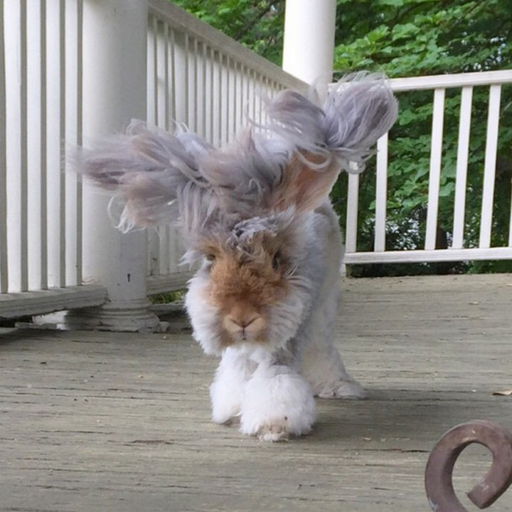 Angora rabbits have fur that is incredibly soft, even softer than cashmere which makes petting one a delight.