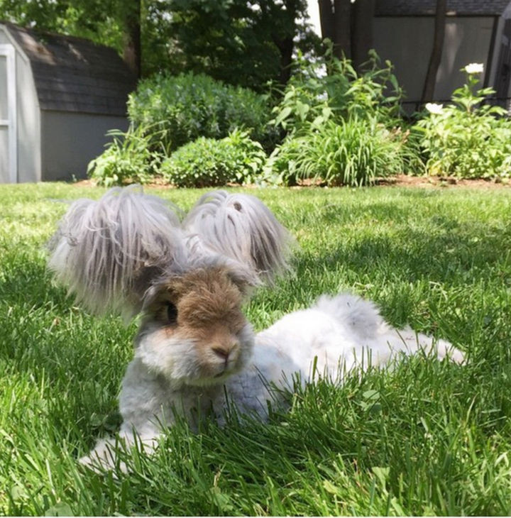 Many people have compared Angora rabbits to small puppies because they look so cuddly.