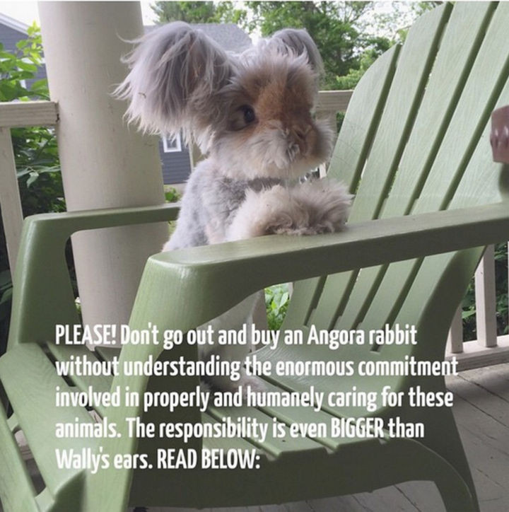 All that cuteness is a lot of work and Angora rabbits are not recommended for families that don't have the time to care for this beautiful fur ball.
