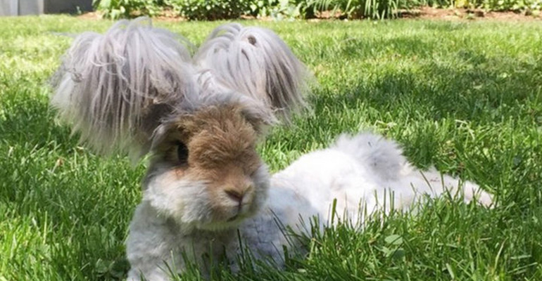 Wally the Angora Rabbit With His Fluffy Ears Is the Cutest Ever.