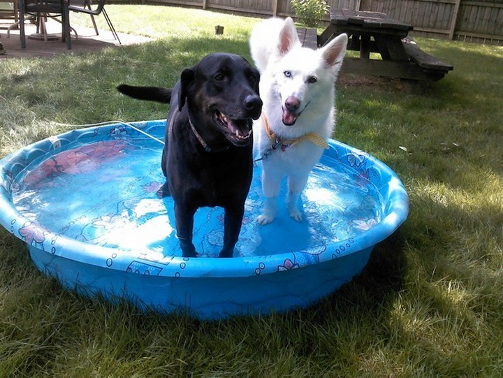 39 Animals Swimming in Pools - Two gorgeous rescues enjoying the kiddie pool.